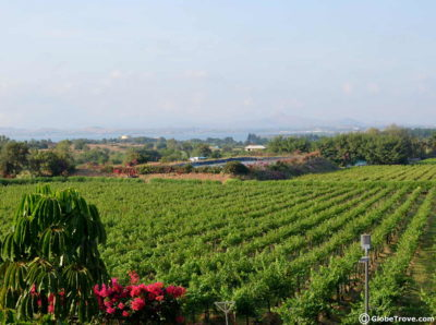 A glimpse of the vineyards before the Sula vineyards tour
